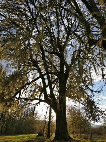 Large Tree.jpg