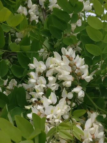 Honey_Locust Flowers.jpg