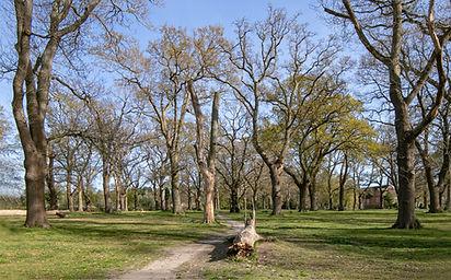 The old oak trees of Hartley Wintney.jpg