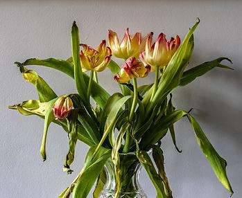 Fading Tulips.jpg