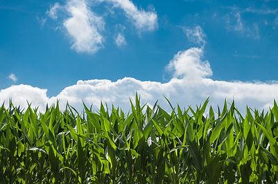 Corn field, organisational advice