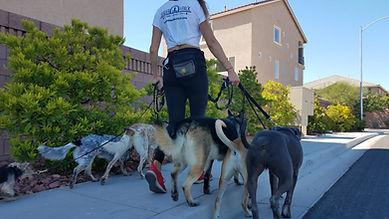 Woman walking dogs. Pack walks