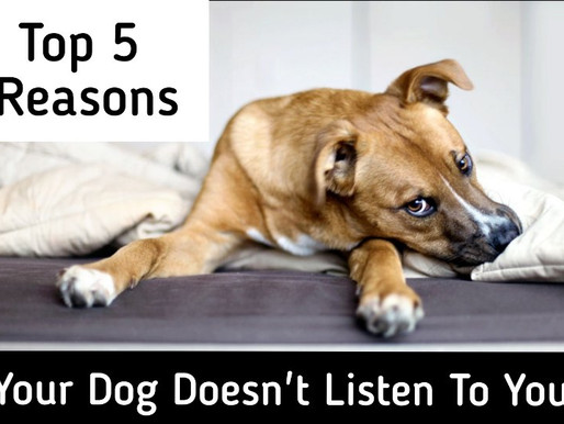 Top 5 Reasons Your Dog Doesn't Listen To You