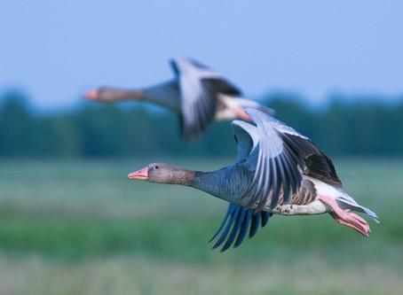 El vuelo de los gansos reflejado en el ámbito laboral y empresarial.