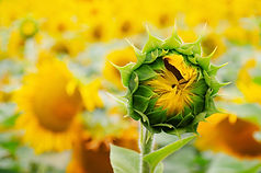Sunflower bud ready to open on field bac