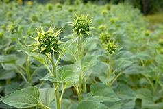 Sunflower Bud. Open flower bud of sunflo
