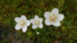 Three Grass of Parnassus flowers