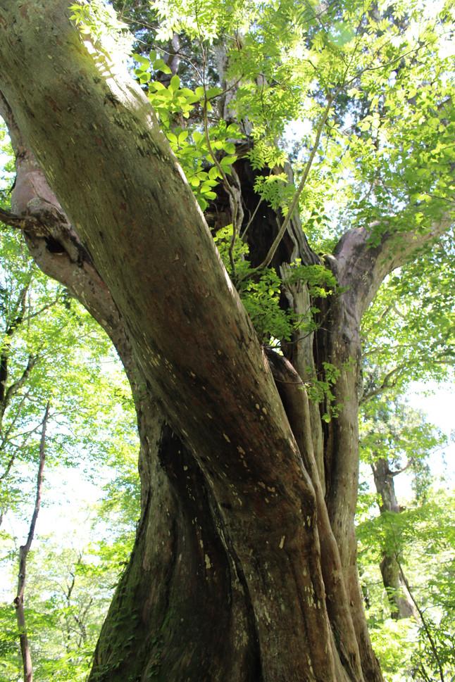 1000年の黒檜