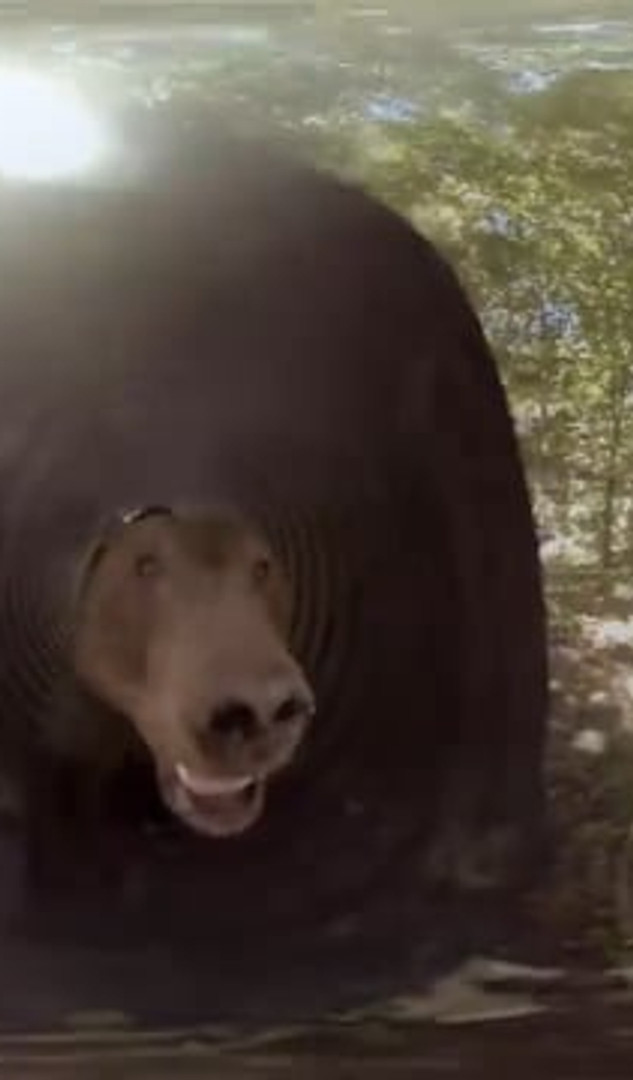 Grizzle Bears: Up Close and Personal - TIJAT/Discovery VR 360 Video