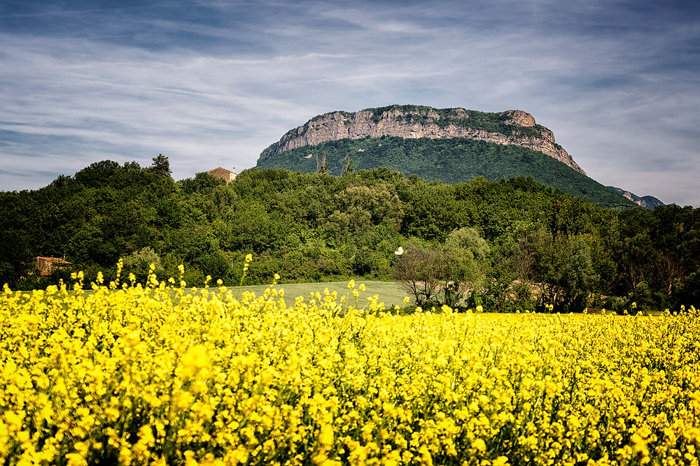 Canola flowers blooming in the landscape