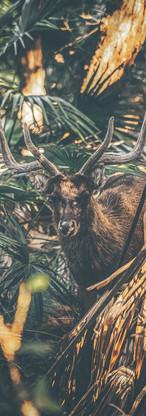 Stag in Royal National Park - Australia