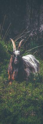 Welsh Goat