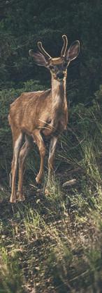 Deer in the Glow - Invermere, Canada