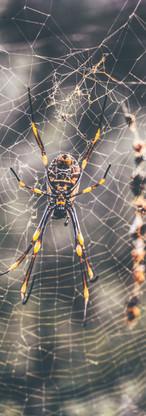 Golden Globe Spider