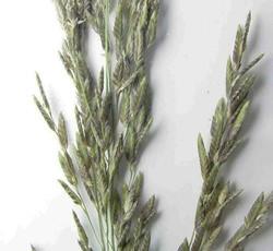 Eragrostis_atrovirens2