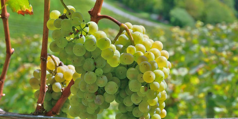 Weinlesetage - Ernten, verstehen & kosten (1)