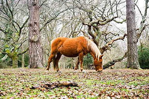 new forest pony.jpg