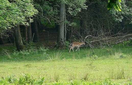 Bolderwood Deer Sanctuary.jpg