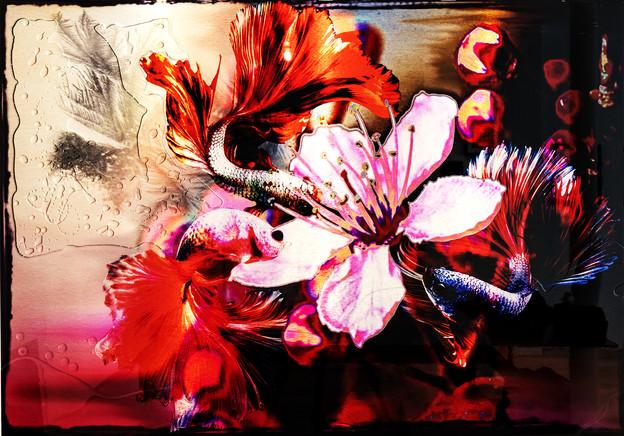 Poissons Voiles Rose de France
