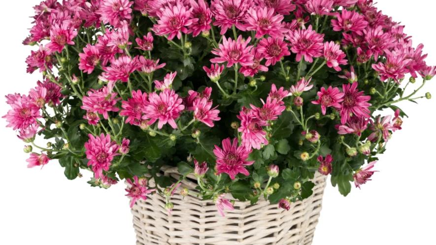 K1 - Chrysantheme im Korb