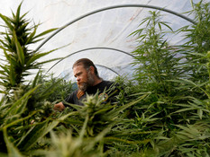 Small Cannabis Farms Face Daunting Future
