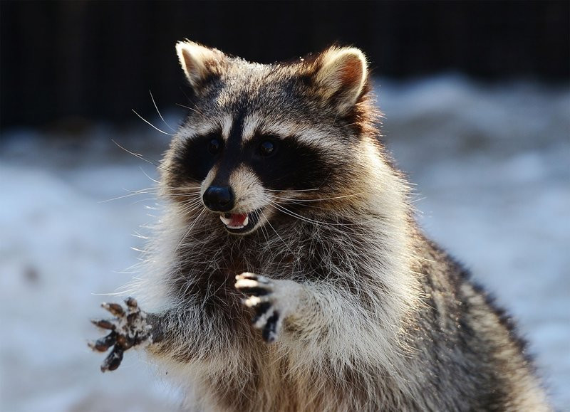 Pet Raccoon, Stoned on Pot, Drops by Fire Station. www.cannanews.buzz
