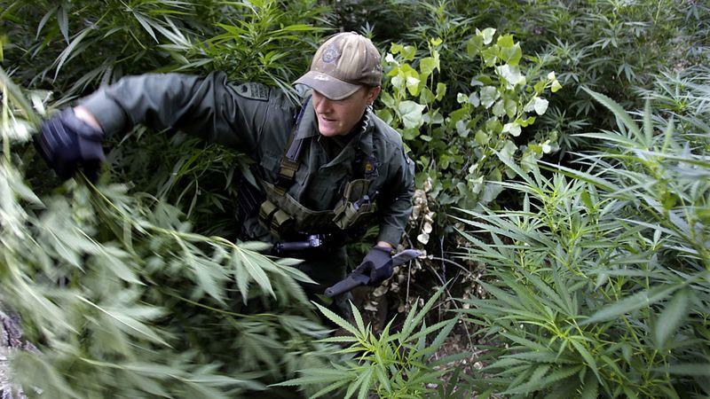 The Marijuana Black Market in California Keeps Growing