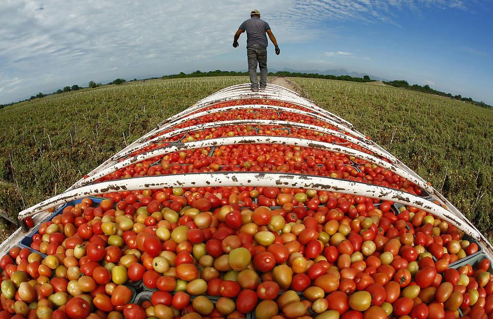 Tomato farmers switch to marijuana