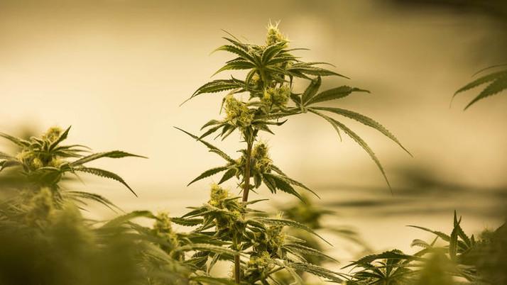 Marijuana Industry Angered by White House