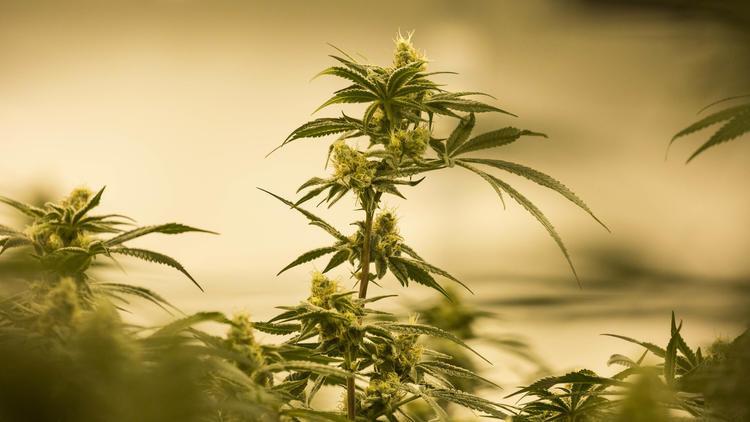 marijuana industry white house