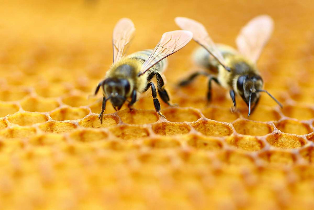 Hemp Could Help Declining Honeybee Population