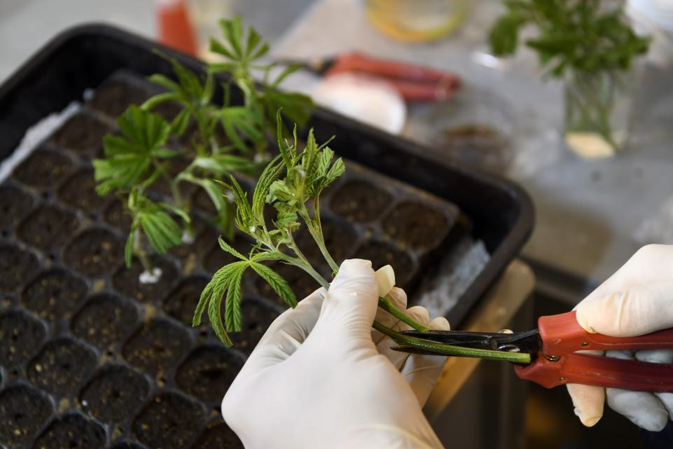 World Health Organization: Medical Marijuana Has No Health Risks