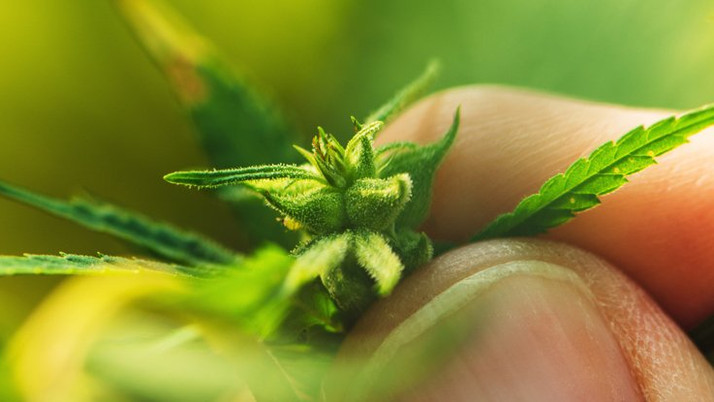 Scientists Discover the Root of Cannabis