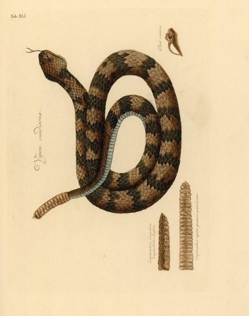 mark catesby  |  vipera caudisona