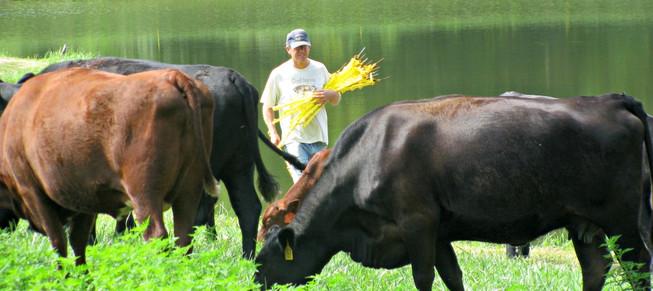 Tom and cows 980 X 450.jpg