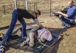Lion Castration