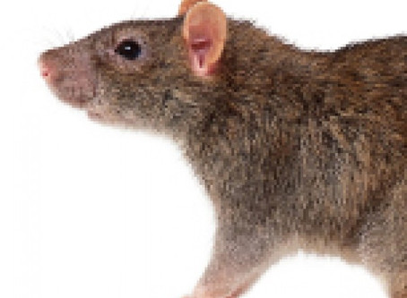 Face down the rodent infestation Ensure good public health