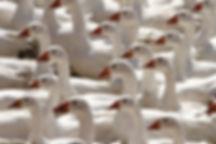 France 2013 Puy de fou (101).j geese wat
