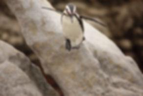 African Penguin attempts flight 2Q1A4883