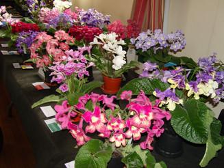 British Streptocarpus Society Show 2014