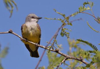 Birding_GilaCounty_WesternKingBird.jpg