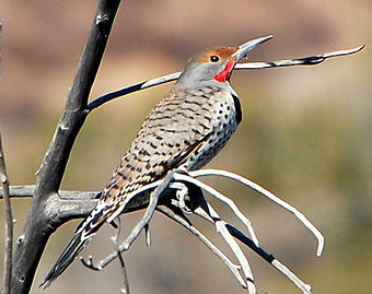 Birding_GilaCounty_NorthernFlicker.jpg