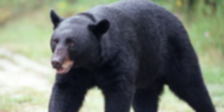 HuntingUnit22_BlackBear.jpg