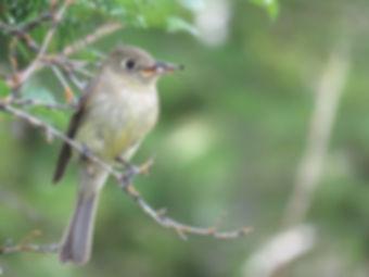 Birding_GilaCounty_Cordilleran Flycatche