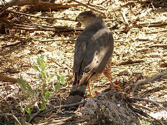 Birding_GilaCounty_oopersHawk.jpg