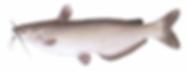 fishing_channelcatfish.png