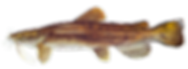 fishingspecies_flathead-catfish.png
