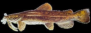 fishingspecies_flathead-catfish.png