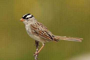 Birding_GilaCounty_White-crowned Sparrow