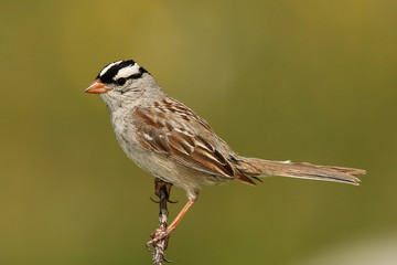 Birding_GilaCounty_White-crowned Sparrow